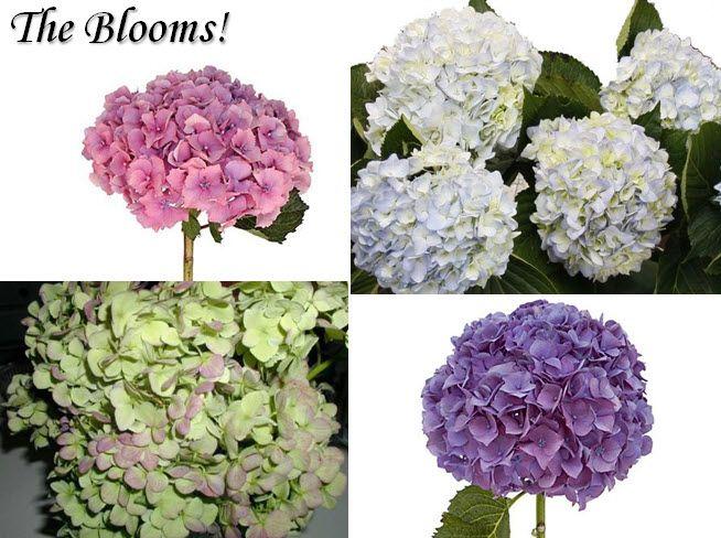 Anna Paquin, Stephen Moyer wedding details- white, purple, pink, green hydrangeas for wedding flower