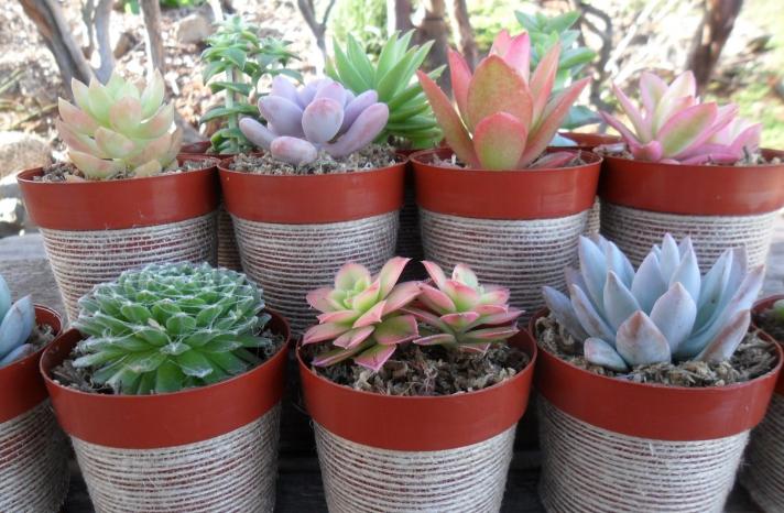 eco friendly wedding guest favors burlap wrapped succulent plants